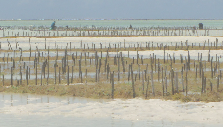 Safeguarding the future of the global seaweed aquaculture industry