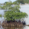 Securing the Future of Mangroves